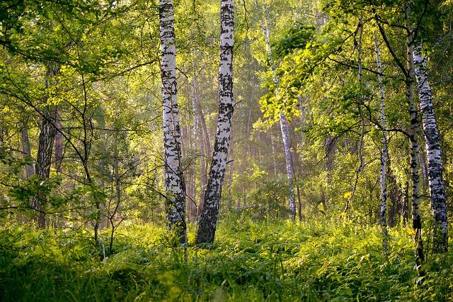 les, břízy